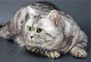 История короткошерстной Британской кошки