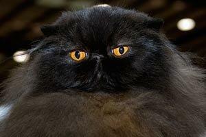 Сплошные Окрасы персидских кошек