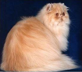 История породы Персидской Кошки