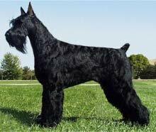 породы собак - Страница 4 200510231829440.giant-schnauzer