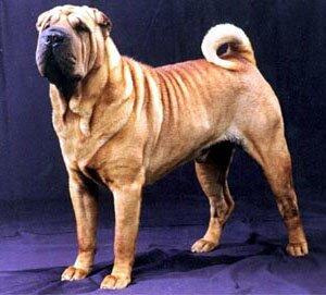 шарпей фото собака
