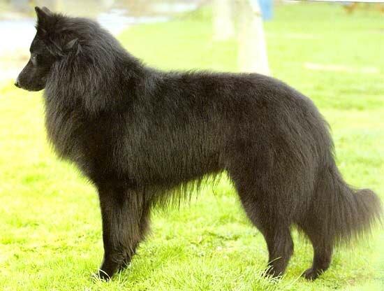 Бельгийская овчарка (Грюнендаль)