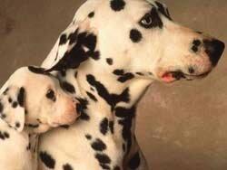 Контрольные вопросы при покупке щенка далматина 200703131838390.Dalmatian
