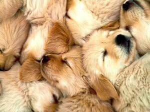 Содержание и кормление щенков в первый месяц жизни