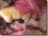 Кариес у собак  - Болезни зубов у животных