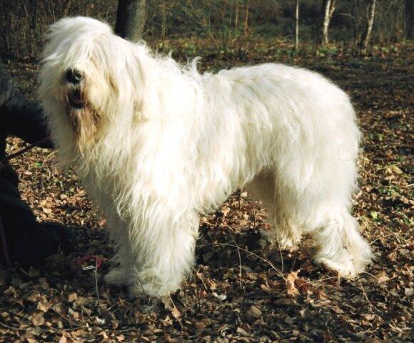 Южнорусская овчарка.RIMUR