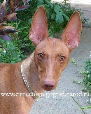 Чирнеко дель Этна. Редкая порода собак.