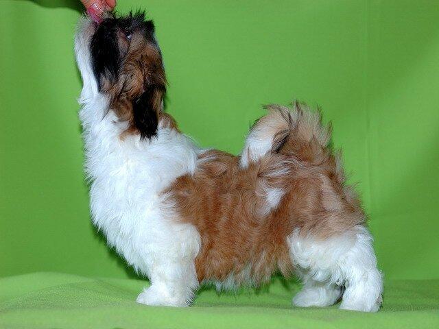 продается щенок ши-тцу
