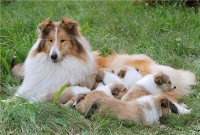 Колли щенки - расписные малыши!