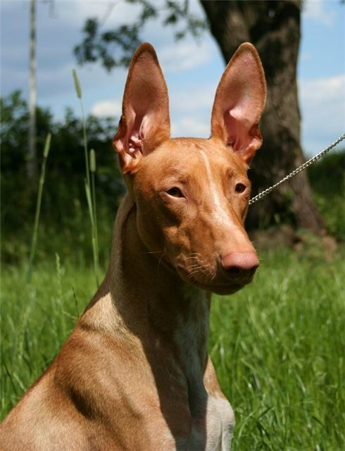 Temple Veles питомник фараоновых собак