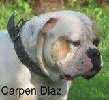 """Питомник американских бульдогов """"Carpen Diaz"""""""