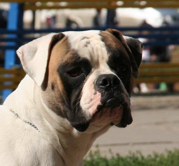 kennel RIVA ROCCI-american bulldog