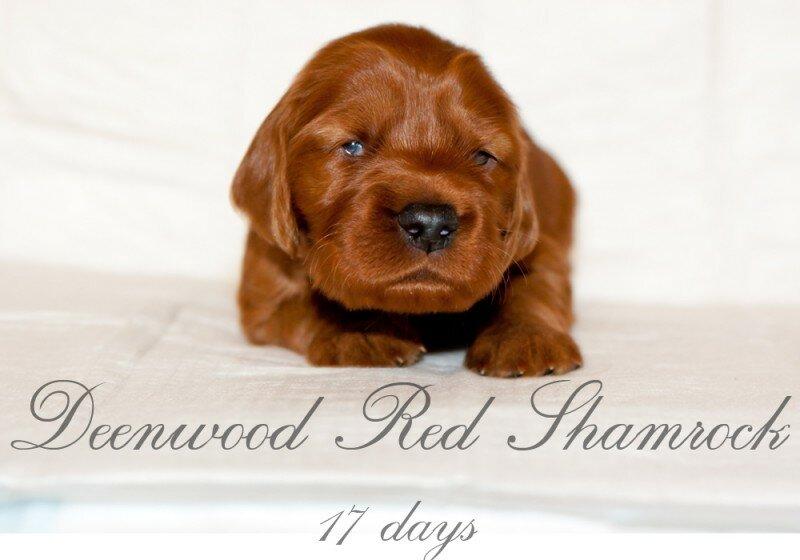 Red Shamrock питомник ирландских красных сеттеров.
