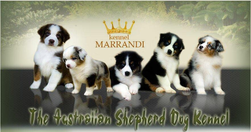 Австралийская овчарка  Marrandi  kennel