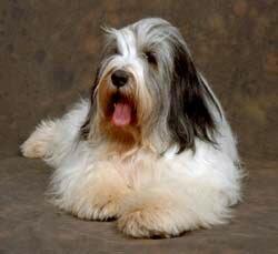 будте осторожны если вы хотите купить щенка йорка в питомнике Mon Bijou