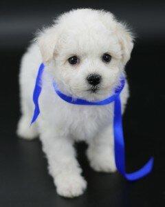 Предлагаем щеночков породы Бишон-фризе от титулованной пары